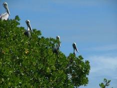 Pelican audience
