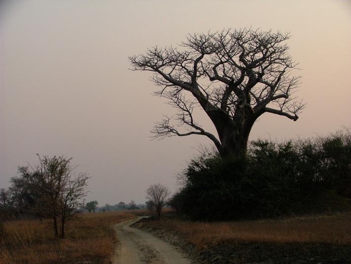 Kafue Baobab at Dawn