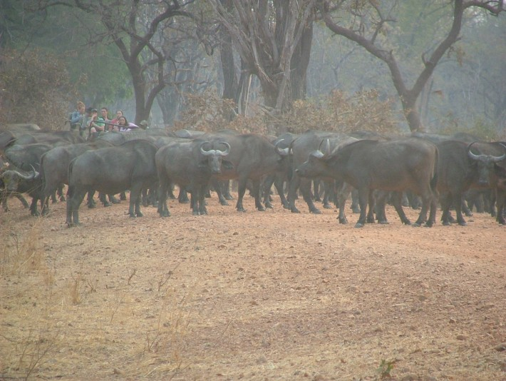 Water buffalo roadblock