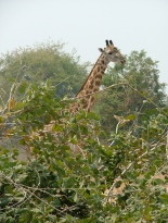 Giraffe: harder to spot than you think