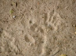 Baboon prints below our chalet