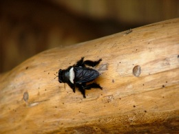 Robber fly feeding on carpenter bees