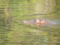 Lurking hippo