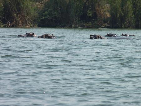 Hippo line