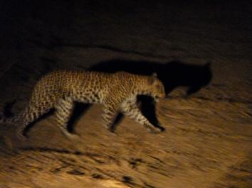 Night stalker: leopard