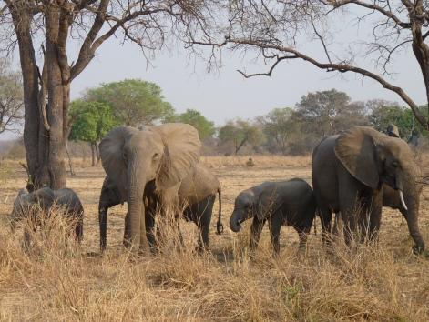 Elephants feasting on monkey pods