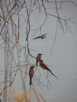 Southern carmine bee eaters