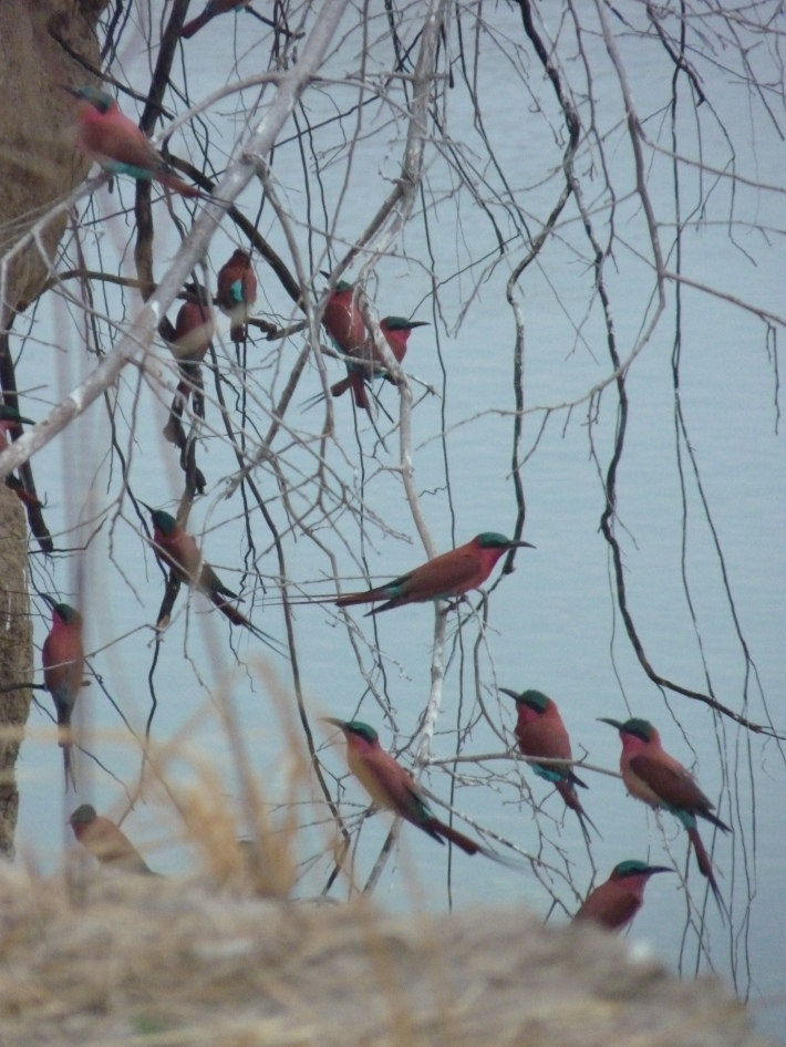 Southern carmine bee eaters colony